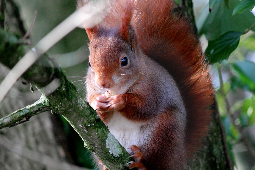 Red squirrel at Wildwood Escot