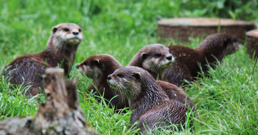Otters at Wildwood Escot