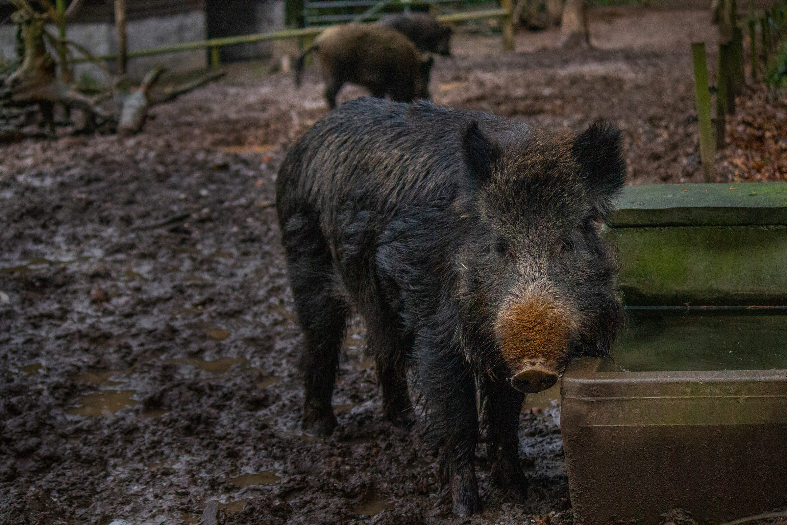 Wild Boar at Wildwood Escot