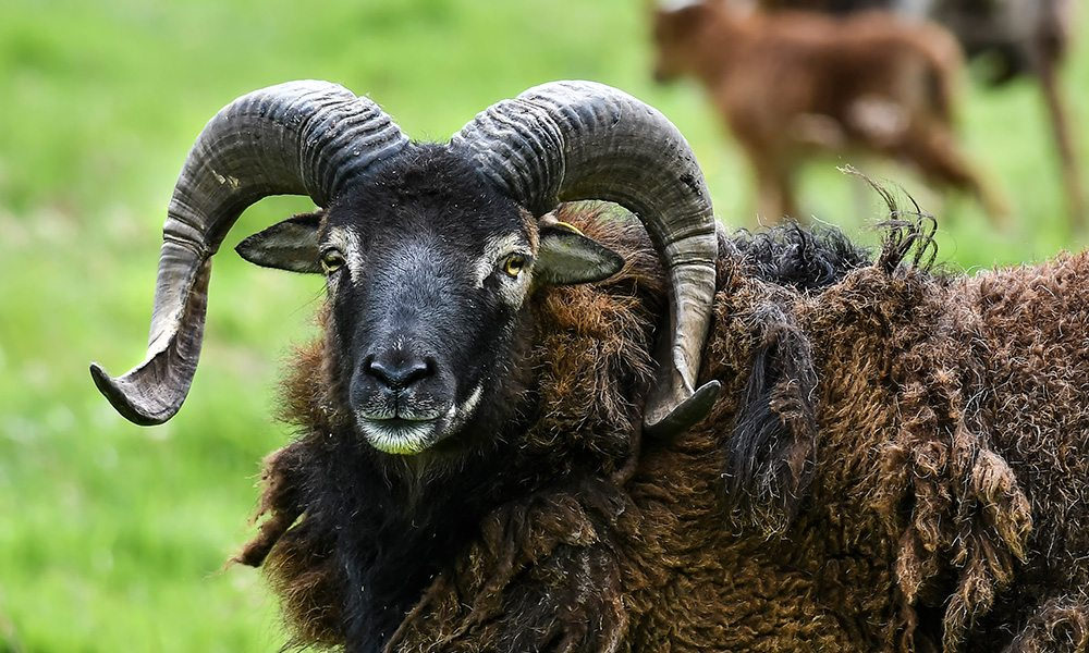 soay_sheep_02