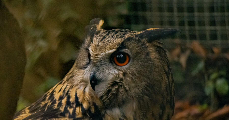 Eagle Owl at Wildwood Escot