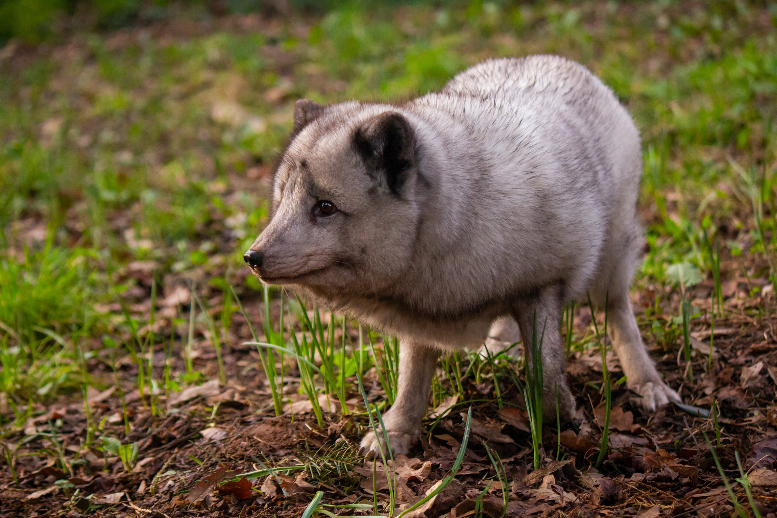 Arctic Fox at Wildwood Escot